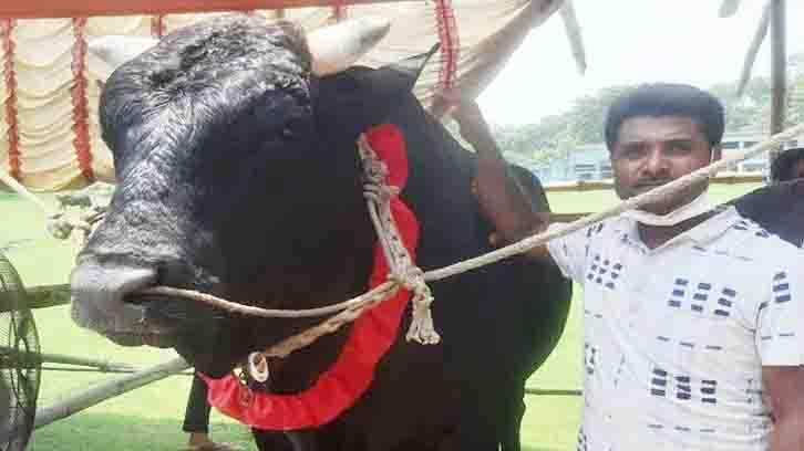 কোরবানির পশুর হাট কাঁপাবে 'কালা তুফান'